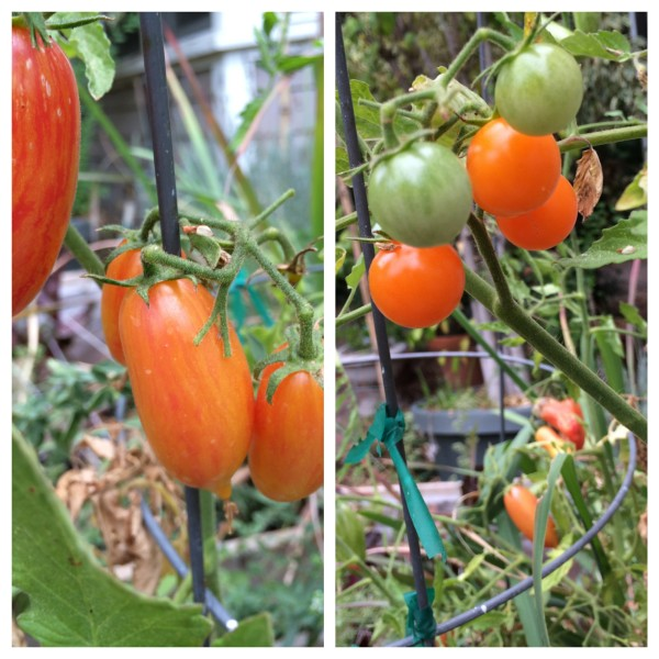 Two of our 12 tomato varieties this year