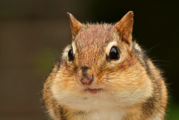 Chipmunks and Mindful Eating
